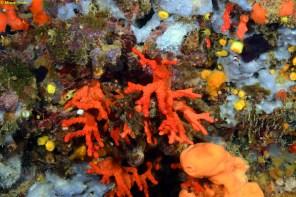 Coral rojo (Corallium rubrum) por Miquel Pontes
