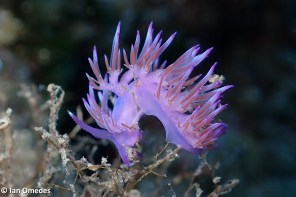 Flabellina affinis per Ian Omedes