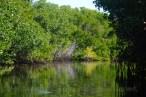 In the mangrove swamp