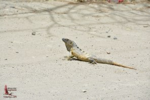 An iguana crossing the road