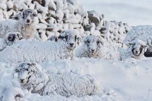 pay-sheep-use-a-drystone-wall