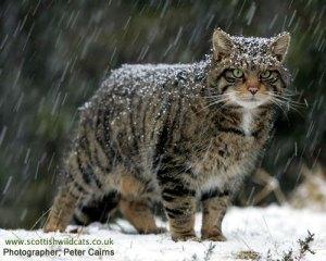 gato selvagem escocês