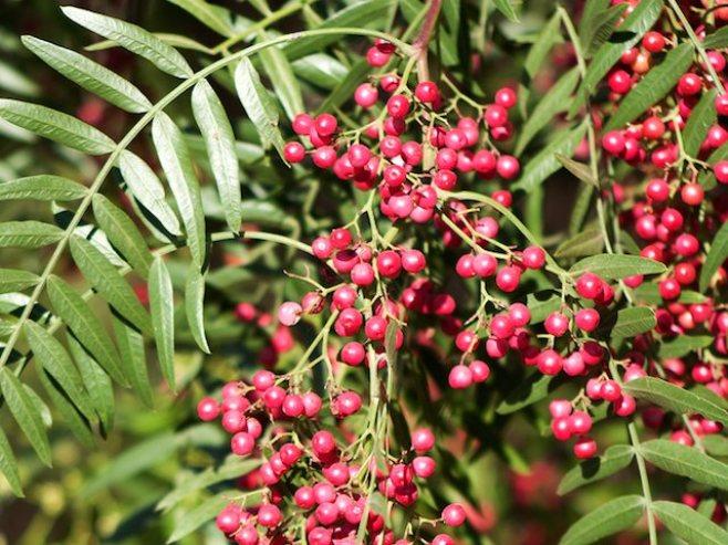 Molle - Aprende como utilizar las bondades de esta planta.