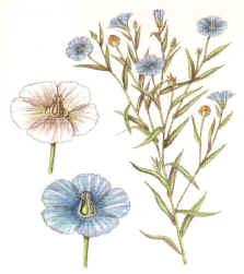 plantalinaza