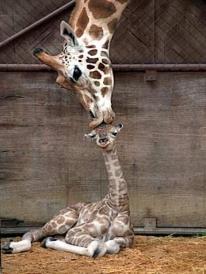 girafa madre con girafa cachorro