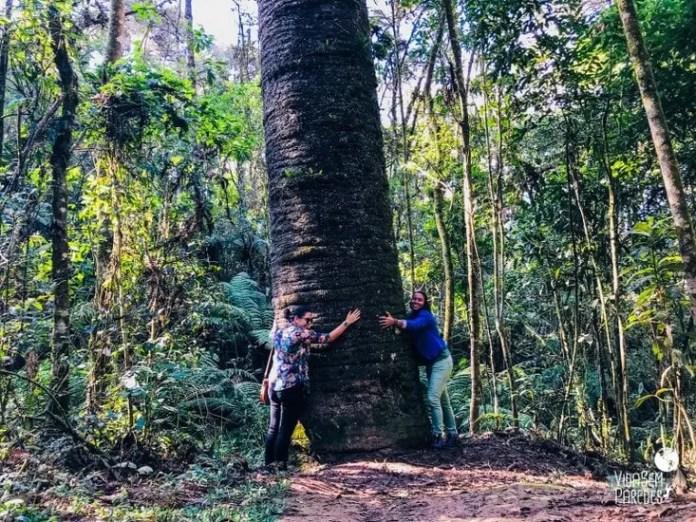 pinheiro velho monte verde