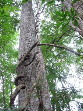 Lianas que se enriedan en los árboles para subir a la superficie y alcanzar la luz