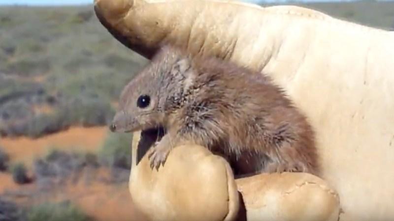 kaluta macho del noroeste de Australia