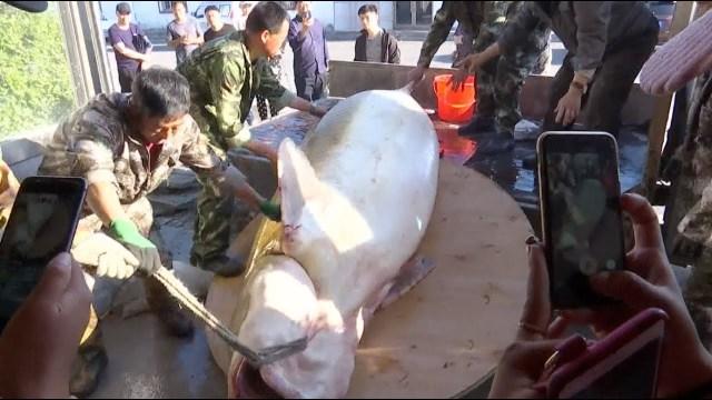 بالفيديو… اصطياد سمكة عمرها نحو 100 عام وتزن أكثر من نصف طن