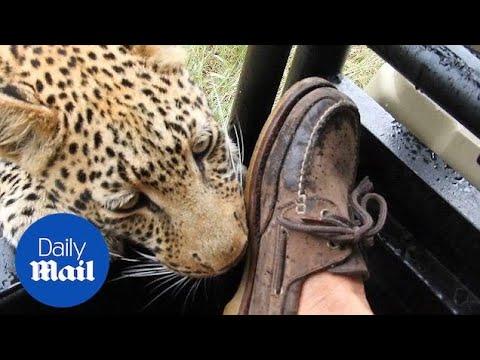 بالفيديو…نمر يداعب قدم سائح