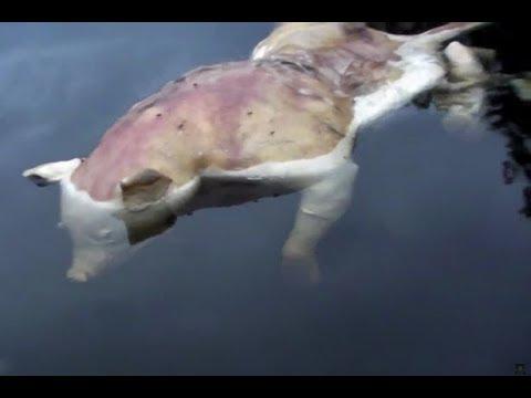 بالفيديو… العثور على خنزير بأطراف بشرية