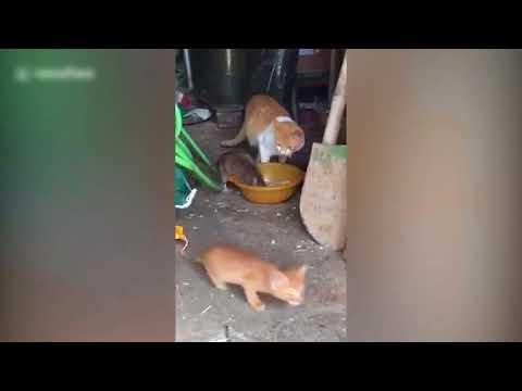 فأر ضخم يتحدى قطا ويستولى على طعامه أمام عينيه