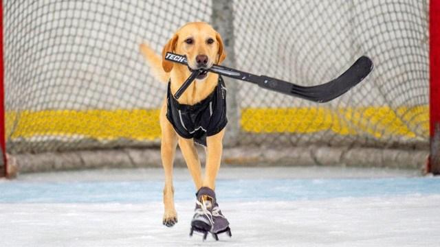 شاهد كيف يتزلج هذا الكلب بإتقان