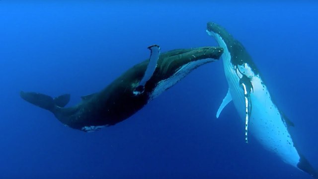 الأغاني في مملكة الحيوان: هل استمعتم إلى الحوت الأحدب؟