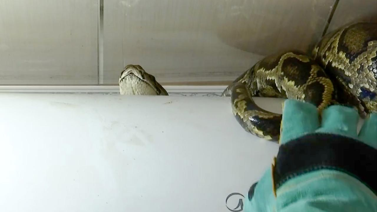 Python finds its way to a bathroom in south China - CGTN