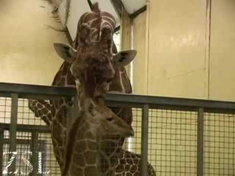 Μωρό καμηλοπάρδαλης από κοντά – Baby giraffe up close