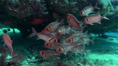 big eye squirrelfish with