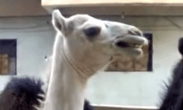 Here is What Happens When You Tickle a Camel