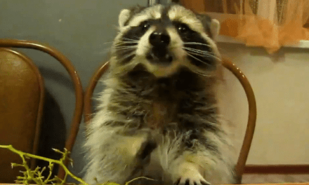 Raccoon Eating Grapes At The Table