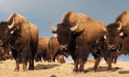 Bison Gores Woman