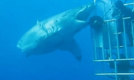 The Biggest Great White Shark Ever Seen In The Guadalupe Islands