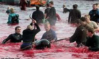 Young Teens Slaughtering Calderon Dolphins in Feroe Island, A Celebration To Show That They Are Adults and Mature!