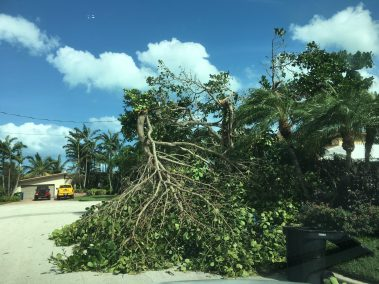 Tree snapped in half by irma
