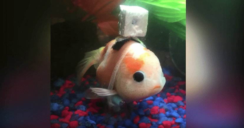 Pet Shop Owner Creates Wheelchair For Disabled Fish