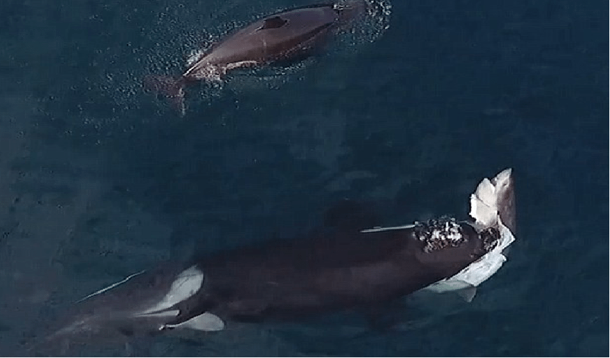 Killer Whales Hunt Down And Kill A Great White Shark