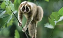 Even Though They Look Innocent, Popular Viral Videos Of Loris May Depict Animal Abuse….