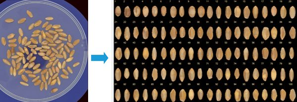 Seeds automatically segmented and sorted