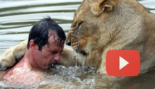 A Brave Man Who Tried To Hug Big Lion, What Next?