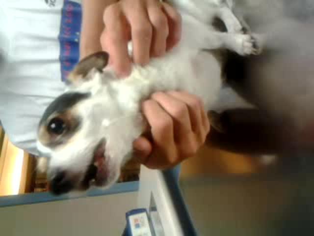 La tos de Samba: la tos del perro con insuficiencia cardiaca.
