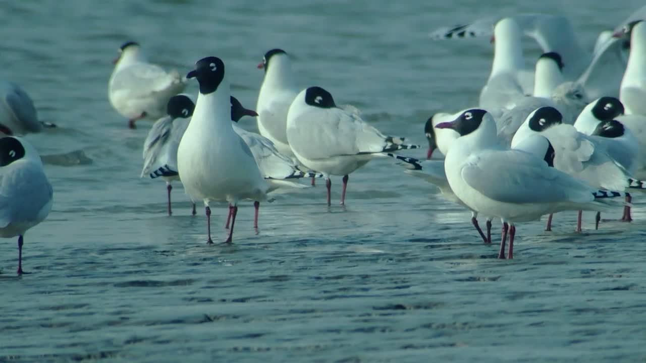 Relict Gulls