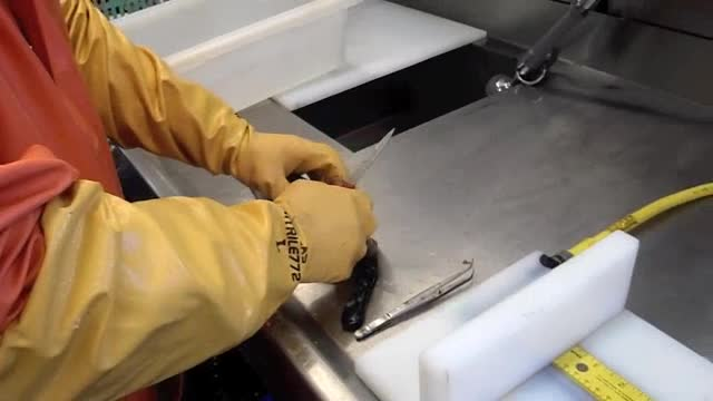 Processing pollock on the Oscar Dyson