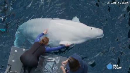 beluga whale baby aquarium georgia biggest atlanta way vs vpc having says