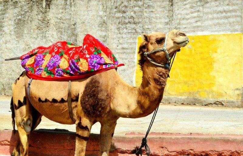 Jaipur Camel