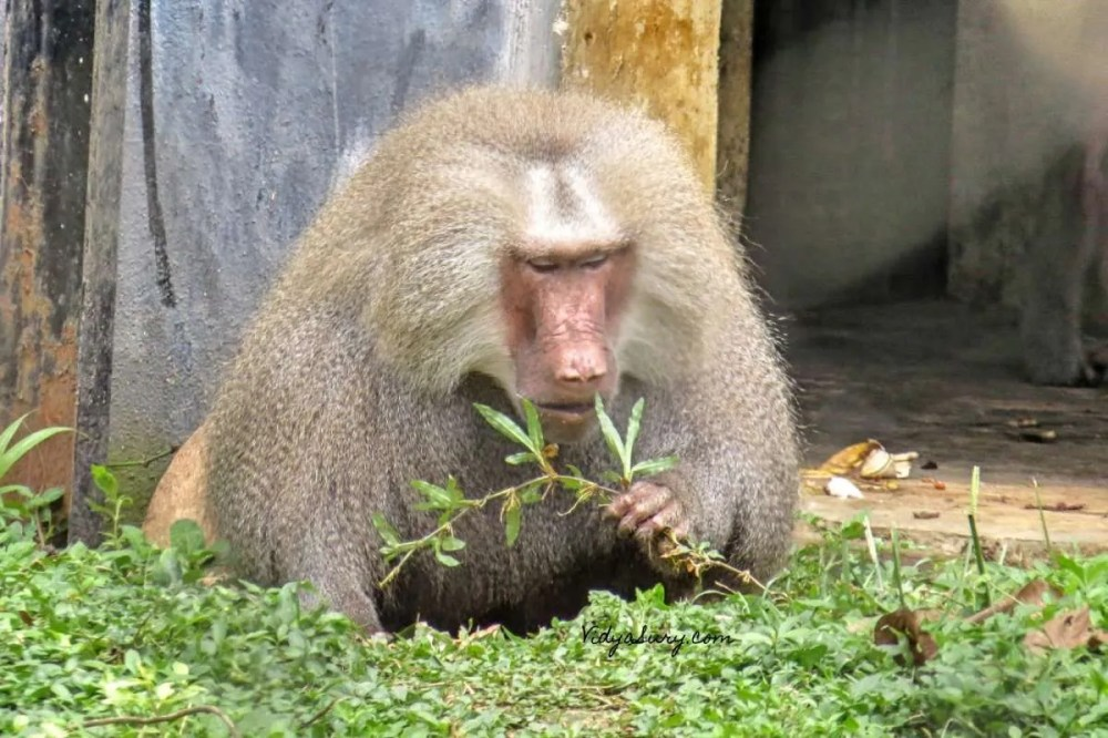 Monkey Business Bannerghatta Zoo