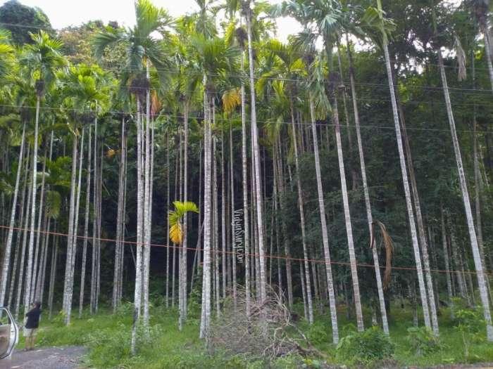 Walking Tall Betelnut Plantation (2)