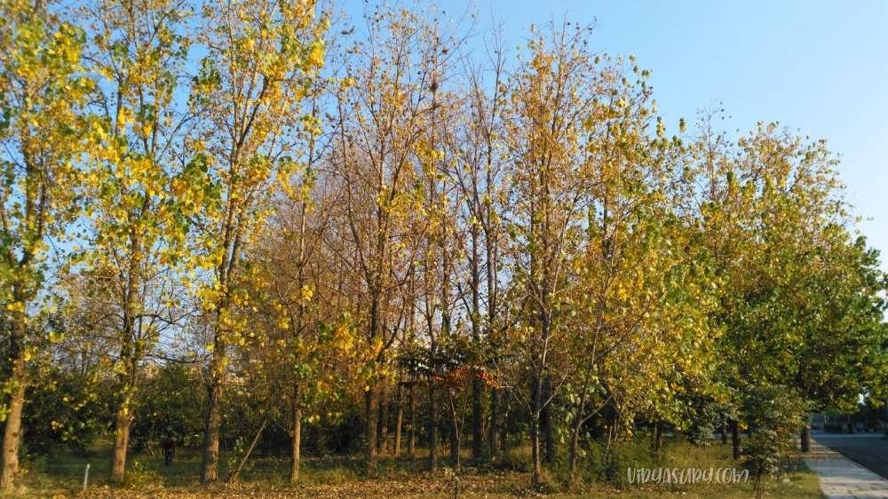 Poplar Trees Whispering Rustling