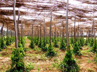 Plantation de poivre Sud du Cambodge