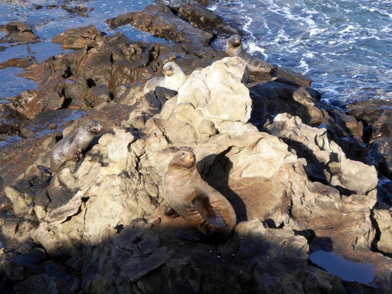 Phoques à Oamaru-île du Sud