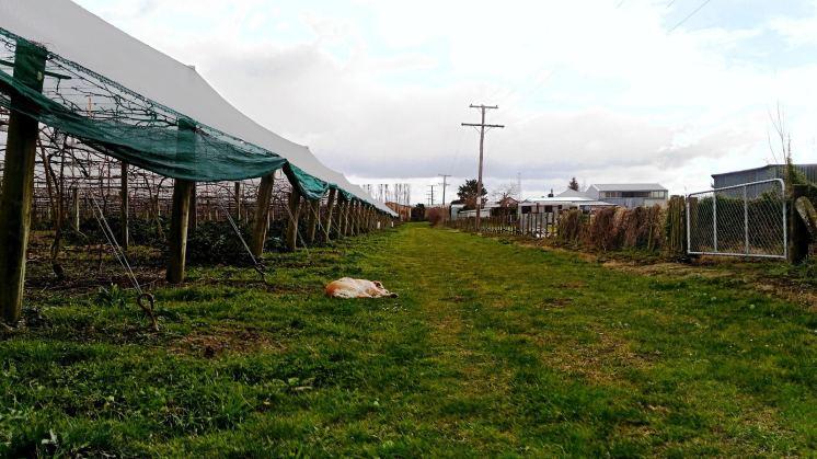 Orchards de kiwi-travailler l'hiver en Nouvelle Zélande (4)