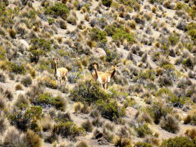 Vigognes parc de Sajama-Bolivie