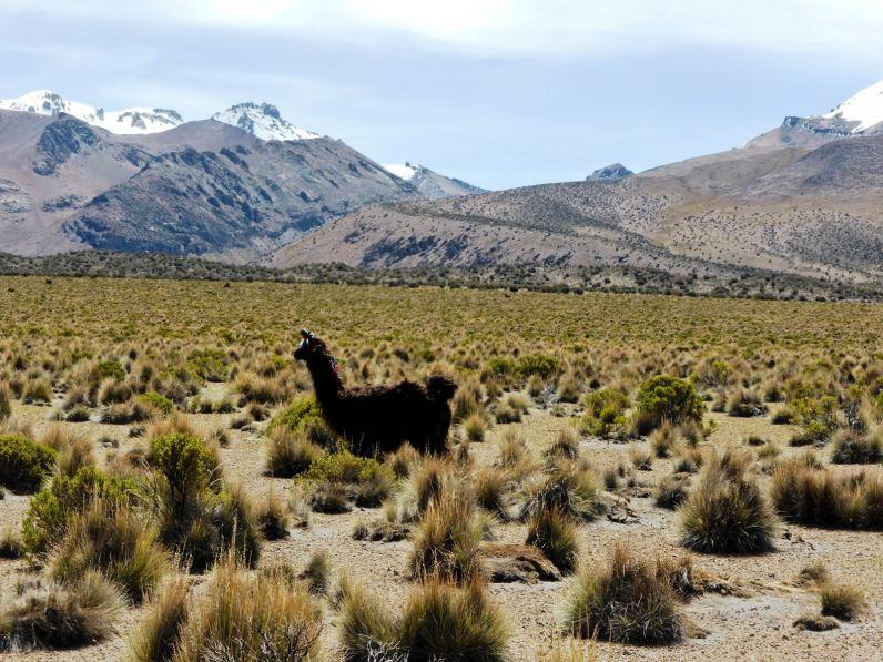 Entourés de lamas au Parc de Sajama-Bolivie