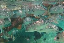 Schnorchel Tour am Belize Barrier Reef 2