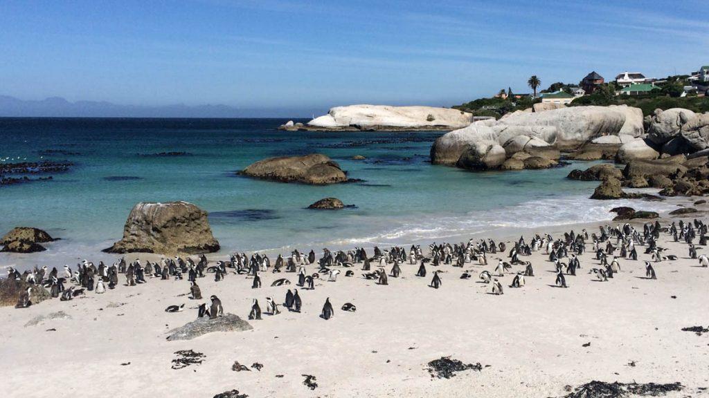 "penguins-bouldersbeach-capetown ""class ="" lazy lazy-hidden wp-image-11069 ""srcset ="" https://viel-unterwegs.de/wp-content/uploads/2015/05/penguins-bouldersbeach-capetown-1024x576. jpg 1024w, https://viel-unterwegs.de/wp-content/uploads/2015/05/penguins-bouldersbeach-capetown-500x281.jpg 500w, https://viel-unterwegs.de/wp-content/uploads/ 2015/05 / penguins-bouldersbeach-capetown-768x432.jpg 768w, https://viel-unterwegs.de/wp-content/uploads/2015/05/penguins-bouldersbeach-capetown.jpg 1200w ""data-lui-maten = ""(max-width: 1024px) 100vw, 1024px"" title = ""Kaapstad Bezienswaardigheden: u mag deze hoogtepunten niet missen! 37"