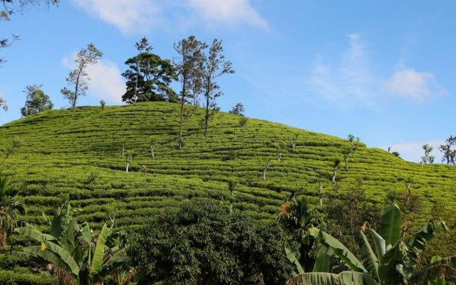 Sri Lanka Sehenswürdigkeiten Teefelder Ella Rock