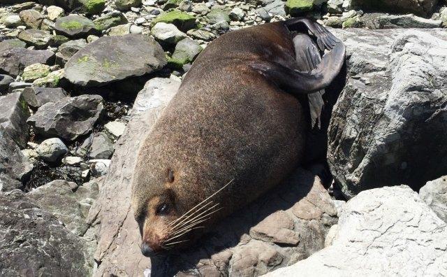 Seehund in Kaikoura Neuseeland
