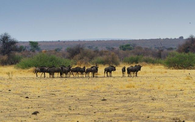 Gnu Herde Waterberg Plateau Namibia